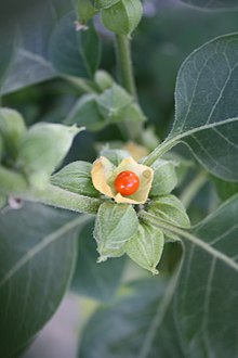 ashwagandha herb for mood