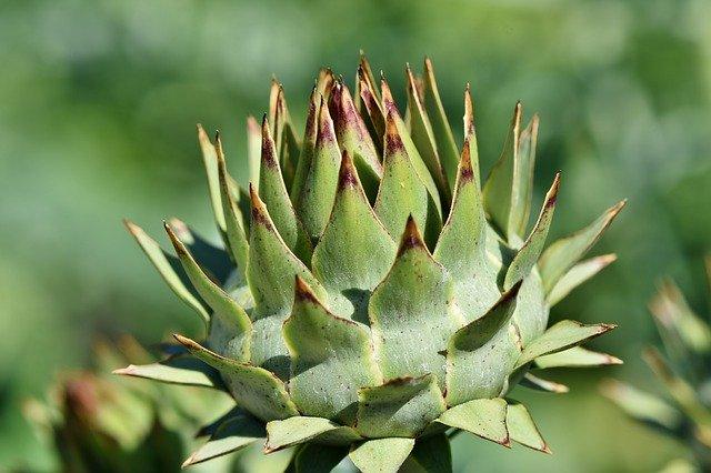 Artichoke Leaf Extract Qualia Mind Ingredient