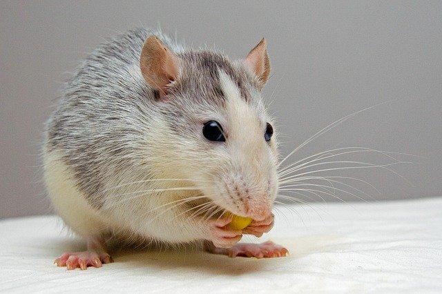 lab rat study