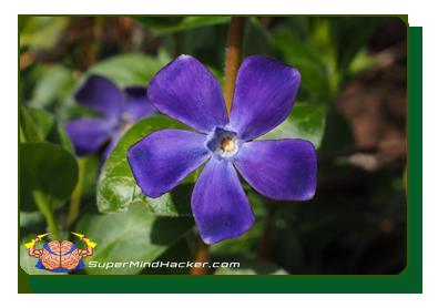 vinpocetine nootropic periwinkle plant
